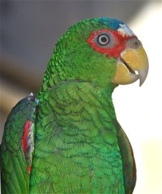 White-Fronted Amazon Parrots are also called Spectacled Amazons due to the red feathers around the eyes making them appear to be wearing spectacles.