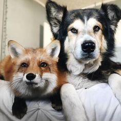 Esta amizade entre um cachorro e uma raposa vai animar o seu dia
