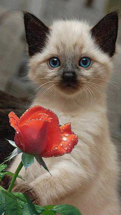 Image result for chocolate siamese cat and pink rose