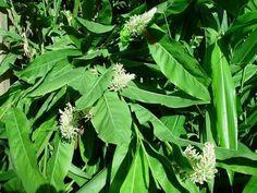 Alpinia galanga - plant