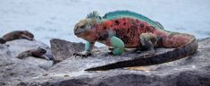 (Amblyrhynchus cristatus)  The marine iguana, also known as the Galápagos marine iguana.