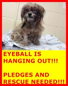 Rescued! A4825596 My name is Calpernia and I'm an approximately 8 year old female shih tzu. I am already spayed. I have been at the Downey Animal Care Center since May 2, 2015. I will be available on May 6, 2015. You can visit me at my temporary home at D712. https://www.facebook.com/photo.php?fbid=864274353652898&set=pb.100002110236304.-2207520000.1430696168.&type=3&theater