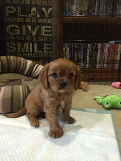 What a cutie, this Ruby, Cavalier puppy is!