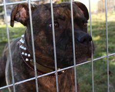 Pitbulls, Dogs, Animals, Greenfinch, Animales, Pit Bulls, Animaux, Pet Dogs, Pitbull