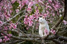 Fukumaru and peach blossoms
