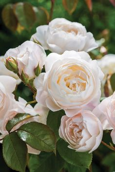 David Austin's newly introduced Desdemona, bears an essence of almond blossoms with a whisper of cucumber and lemon.