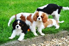 Cavalier pups