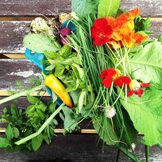 Vegetable garden companion planting // Samodling och växtföljd i grönsakslandet.