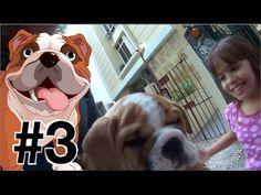 #3 Bulldog Inglês English Bulldog filhotes Max O Bulldog chegando em casa