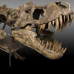 T-Rex-Skeleton-High-Resolution. Tyrannosaurus Rex Skeleton, Dinosaur Skeleton, Dinosaur Fossils, Jurassic Park World, Extinct Animals, Prehistoric Creatures, Animal Skulls, Skull And Bones, T Rex