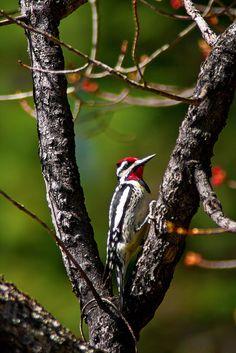 Samuel de Champlain Provincial Park, Yellow-bellied sapsucker Samuel De Champlain, Life List, Backyard Birds, Bird Pictures, Bird Watching, Beautiful Birds, Ontario, Funny Animals, Places To Visit