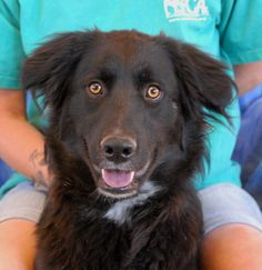 Dixie is a very luminous young girl who is eager to share her happiness and good spirits with those around her.  She is a beautiful Border Collie mix, 1 year of age, spayed, and debuting for adoption today at Nevada SPCA (www.nevadaspca.org).  Dixie is reportedly good with other dogs and housetrained.  She is very puppy-like in temperament still, so please carefully puppy-proof your home and yard for her safety.