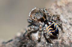 A aranha papa-moscas Maratus spicatus