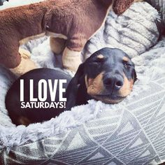 """12 Likes, 2 Comments - Dachshund Quotes & Pictures (@mydachshundfamily) on Instagram: """"Me too... . @kransky_theminisausage"""""""