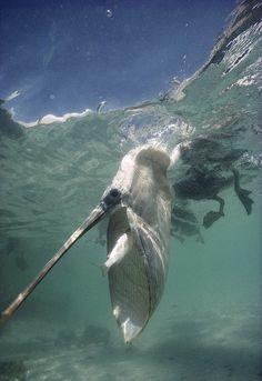 La inmensa red desplegada en acción de un pelícano pardo  Impresionante fotografía tomada debajo del agua en la que se pueden apreciar a la perfección las técnica de pesca empleada por un pelícano pardo (Pelecanus occidentalis) para capturar un ejemplar de lisa (Mugilidae).