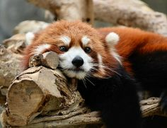 However like the giant panda. Red pandas have false thumb which is an extension of the wrist bone. It's great for grabbing bamboo.