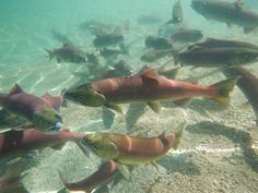 Heat and Drought cook fish alive in Pacific Northwest