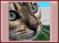 Bengal Cat eyes and nose with cute little triangle.