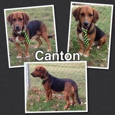 Canton is a Bassett mix that is a 1 year old