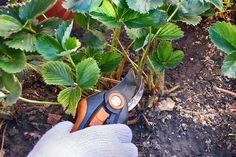 U zdravých rostlin jahodníku odstraňte uschlé listy. Wood Watch, Fashion, Wooden Clock, Moda, Fashion Styles, Fashion Illustrations