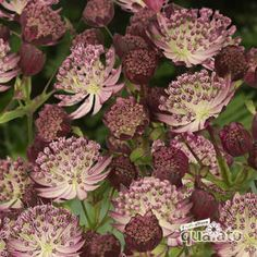 Buy Astrantia major Star of Passion Online Tiny Flowers, Cut Flowers, Beautiful Flowers, Cottage Garden Plants, Garden Shrubs, Astrantia Major, Plants Delivered, Thing 1, Herbaceous Perennials