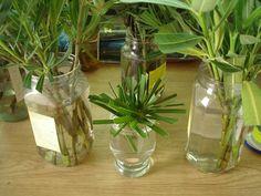 Boutures faciles à réussir, techniques et plantes pour bouturage