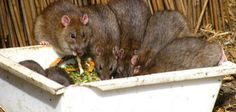 Get rid of rats and mice as quickly as possible.