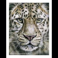 The finished time-lapse of my Amur Leopard drawing hope you enjoy :-) #leopard #pencil #drawing #art #artist #colour #bigcat #timelapse @dibujoses @dibujosesvideo @art_motive @artofdrawingg @wildlifeplanet
