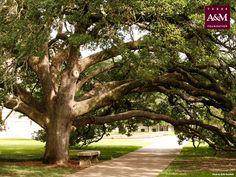 Century tree on the TAMU campus