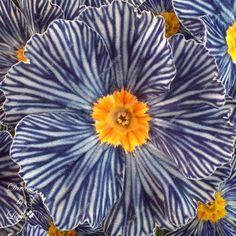 Flores en maceta semillas de flores de Cuatro Estaciones de primavera Primula semillas de flores Semillas 100 unids en Bonsais de Hogar y Jardín en AliExpress.com | Alibaba Group
