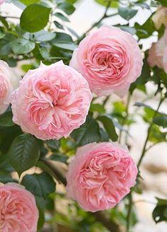 "Rose ""Pierre de Ronsard"" priory Notre Dame d'Orsan, Loire Valley, France"
