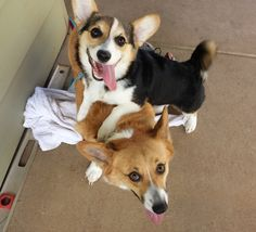 Try and look at these goofballs without smiling. I dare you! #corgi #derp