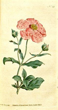 Rockrose (1788) Cistus incanus. Botanical Magazine vol.2 [J.Sowerby]