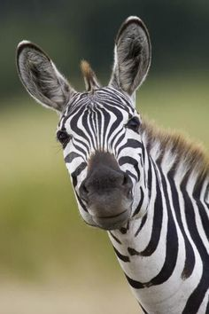 Burchell'S Zebra Portrait, Masai Mara, Kenya by Suzi Eszterhas