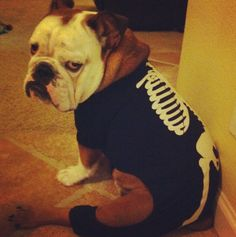 He hated last year's Halloween costume. | Meet The English Bulldog With The Most Amazing Face On Instagram