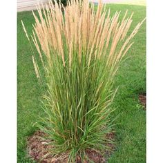 Avalanche Feather Reed Grass - Lovely Tall, Variegated Ornamental Grass Perfect for Borders and AccentsOnline Orchards 1 Gal. Avalanche Feather Reed Grass - Lovely Tall, Variegated Ornamental Grass Perfect for Borders and Accents Ornamental Grasses For Shade, Ornamental Grass Landscape, Perennial Grasses, Landscape Grasses, Tall Grasses, Perrenial Flowers, Tall Shrubs, Evergreen Landscape, Shade Perennials