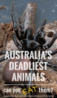 #5 The Funnel Web Spider. 5 Deadliest Australian Animals: Can You Eat Them? Or better yet- Can They Eat You? #Australia #Food #deadly #animals Funnel Web Spider, Deadly Animals, Australia Animals, San Francisco Travel, Thing 1, Australia Travel, Brisbane, Animal Photography, Family Travel