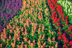 Online Garden Store for Flower Bulbs, Seeds, Plants and Planters: Mosquito Repellent Plants You Should Have At Home Online Plant Nursery, Drought Resistant Plants, Mosquito Repelling Plants, Bulb Flowers, Herb Garden, Bonsai, Seeds, Planters, Nature