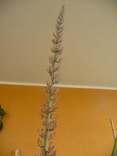 Fiore di Sansevieria cylindrica foto di giuseppina ceraso http://crocettando.wordpress.com