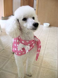 Pictures of Miniature Poodle Dog Breed Cortes Poodle, Chocolate Poodle, Animals And Pets, Cute Animals, Dogs And Puppies, Poodle Puppies, Doggies, Tea Cup Poodle, Mini Poodles
