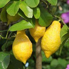 Le citronnier est un magnifique agrume de culture facile. Plantation, culture, entretien et taille du citronnier citrus, voici les gestes pour avoir de beaux citrons et éviter les maladies.
