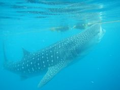 whaleshark with seaweed