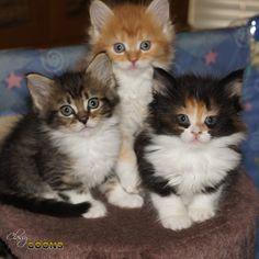 Maine Coon Kitten www.classycoons.com