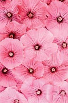 Pink rose of sharon Pretty In Pink, Pink Love, Rose Fushia, Pink Purple, Pastel Pink, Yellow Roses, Bright Pink, Pink Flowers, Beautiful Flowers