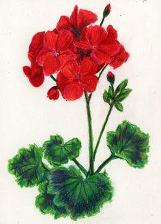 geranium pencil drawing