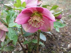バラとかわいい花たち イングリッシュガーデン 楽しいこと rose ガーデニング: クリスマスローズ (サクラピンク)