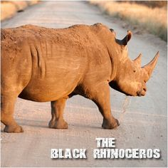 The Black Rhinoceros: Nearing extinction, the black rhinoceros has long been hunted for its horns, thought, in some cultures, to possess magical and medicinal qualities. The black rhino is extremely fast and agile although it looks heavy and slow, and can make sharp turns even when running at their top speed of more than 50 km/hr. #CoxandKings