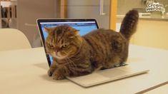 Cute Animal Memes, Funny Animal Pictures, Funny Animals, Cute Animals, Cat Stairs, Munchkin Kitten, Cat Fountain, Pet Camera, Cat Emoji