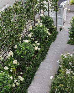 Ornamental pleached pears, white Hydrangea Limelight