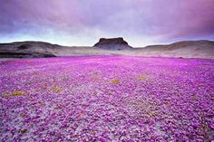 It's a magic carpet of purple wildflowers in Mojave desert, Utah. / Images of Plant Showing that Nature will Survive at the End of the Day 1 Purple Wildflowers, Wild Flowers, Purple Flowers, Desert Flowers, Colorful Flowers, Blooming Flowers, Colorado Wildflowers, Small Flowers, Badlands National Park